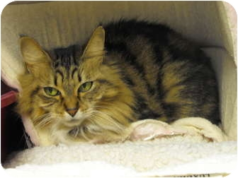 Domestic Mediumhair Cat for adoption in Mission, British Columbia - Chanel