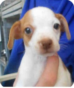 Chihuahua/Parson Russell Terrier Mix Puppy for adoption in Yuba City, California - Peter