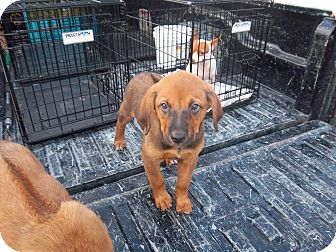 Rhodesian Ridgeback/Labrador Retriever Mix Puppy for adoption in Windsor, Missouri - Abey