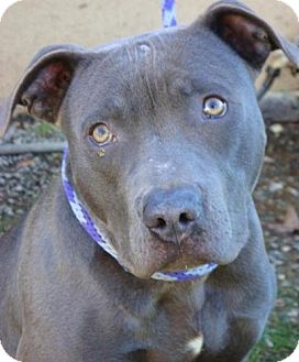 American Pit Bull Terrier Mix Dog for adoption in Red Bluff, California - Brave-$45 adoption fee