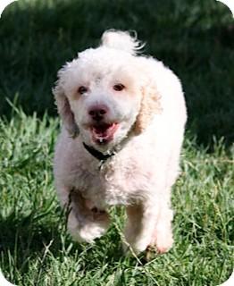 Bichon Frise/Poodle (Miniature) Mix Dog for adoption in Salt Lake City, Utah - MURPHY