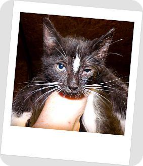 Domestic Shorthair Kitten for adoption in Owosso, Michigan - Jasper