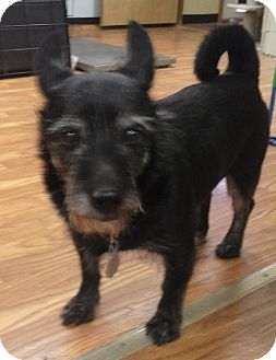 Scottie, Scottish Terrier/Terrier (Unknown Type, Small) Mix Dog for adoption in Brattleboro, Vermont - Papa Merlin