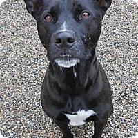 Adopt A Pet :: Sammy-AWESOME dog! - Hadley, MI