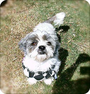 Shih Tzu Dog for adoption in El Cajon, California - Lucas
