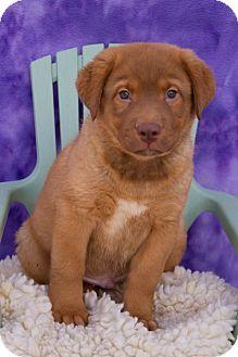 Golden Retriever Mix Puppy for adoption in Fort Lupton, Colorado - Kodiak