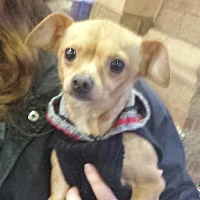 Chihuahua Dog for adoption in Porter Ranch, California - Papi Chi