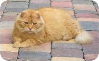 Scottish Fold Cat for adoption in Miami Beach, Florida - Maxwell,FL