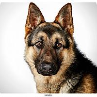 Adopt A Pet :: Maxwell - New York, NY