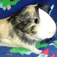 Guinea Pig for adoption in Highland, Indiana - BoJangles