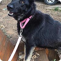 Adopt A Pet :: Schatzi - Fort Worth, TX