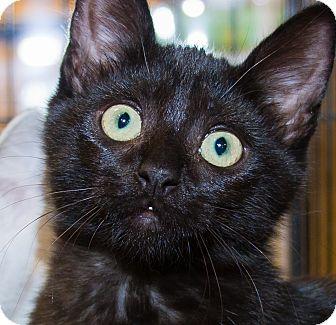Domestic Shorthair Kitten for adoption in Irvine, California - Bandit