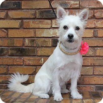 Westie, West Highland White Terrier/Terrier (Unknown Type, Medium) Mix Dog for adoption in Benbrook, Texas - Sugar