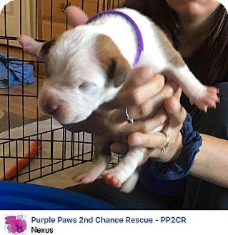 American Pit Bull Terrier Puppy for adoption in Fredericksburg, Virginia - Nexus