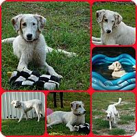 Adopt A Pet :: Nico - Inverness, FL