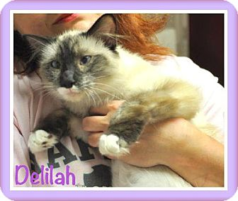 Ragdoll Cat for adoption in Buford, Georgia - Delilah