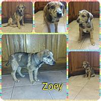 Adopt A Pet :: Zoey-pending adoption - Manchester, CT