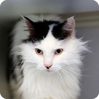 Domestic Longhair Cat for adoption in Staunton, Virginia - Pongo