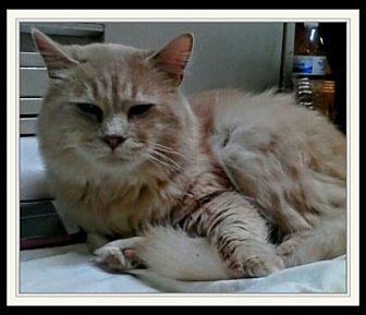 Domestic Shorthair Cat for adoption in Trevose, Pennsylvania - Radio