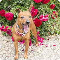 Chihuahua/Miniature Pinscher Mix Dog for adoption in Agoura, California - Norm