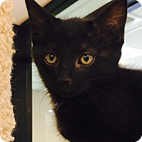 Domestic Mediumhair Kitten for adoption in Gadsden, Alabama - Midnight