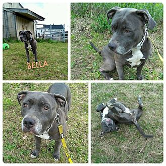 Staffordshire Bull Terrier/American Bulldog Mix Dog for adoption in East Stroudsburg, Pennsylvania - Bella