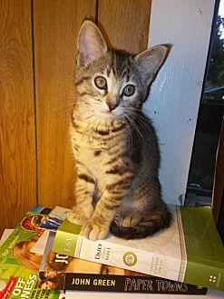 Domestic Shorthair Kitten for adoption in Centerton, Arkansas - Aleah
