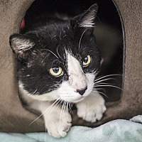 Domestic Shorthair Cat for adoption in Napa, California - Bandit (fiv+)