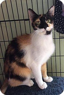 Domestic Shorthair Cat for adoption in Breinigsville, Pennsylvania - Lizzie