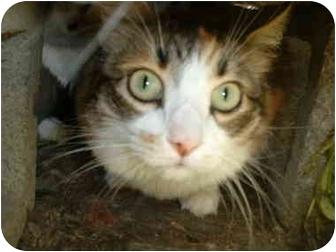 Domestic Shorthair Cat for adoption in Makinen, Minnesota - Callie