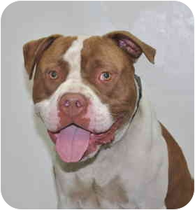 American Pit Bull Terrier Dog for adoption in Port Washington, New York - Bronco
