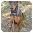 Photo 2 - Doberman Pinscher Mix Puppy for adoption in Montevallo, Alabama - Morgana