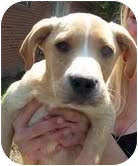 Shepherd (Unknown Type)/Hound (Unknown Type) Mix Puppy for adoption in Foster, Rhode Island - Scout