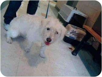 Schnauzer (Miniature) Mix Dog for adoption in Corpus Christi, Texas - LaShawn