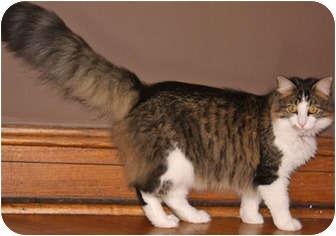 Domestic Mediumhair Kitten for adoption in Mt. Prospect, Illinois - Rory