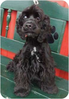 Cocker Spaniel Dog for adoption in Sugarland, Texas - Bridget