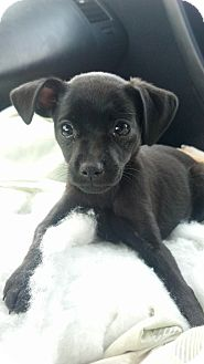 Pug/Chihuahua Mix Puppy for adoption in Simi Valley, California - Desi