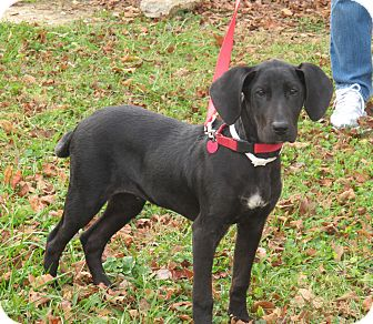 Great Dane/Hound (Unknown Type) Mix Puppy for adoption in Harrisonburg, Virginia - Blitzen