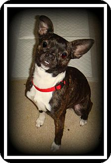Boston Terrier Mix Dog for adoption in Indian Trail, North Carolina - Pebbles
