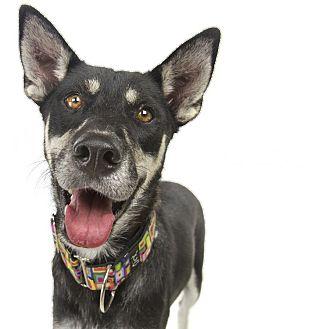 Shepherd (Unknown Type) Mix Dog for adoption in San Antonio, Texas - Rizzo