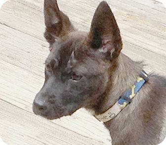 German Shepherd Dog Mix Puppy for adoption in Preston, Connecticut - Hottie