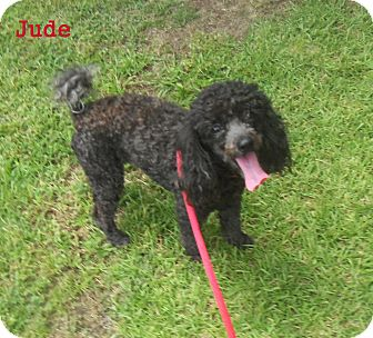 Poodle (Miniature) Dog for adoption in Slidell, Louisiana - Jude