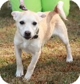 Chihuahua Mix Puppy for adoption in Washington, D.C. - Mario