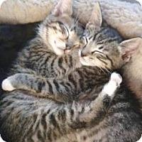 Domestic Shorthair Kitten for adoption in Miami, Florida - Little Sister