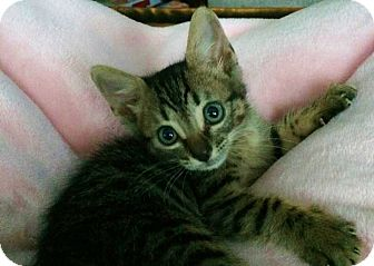 Domestic Shorthair Kitten for adoption in Riverview, Florida - Brownie