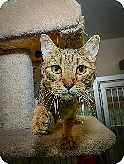 Domestic Shorthair Cat for adoption in New York, New York - Tupelo Honey