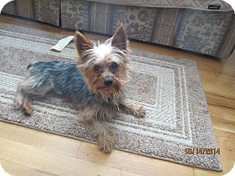 Yorkie, Yorkshire Terrier Dog for adoption in Mount Gretna, Pennsylvania - Ronnie(aka Remy)