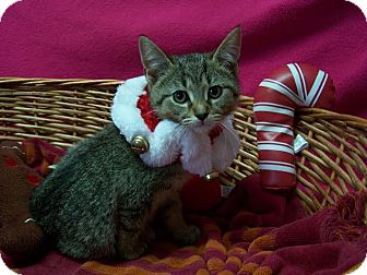 Domestic Shorthair Kitten for adoption in China, Michigan - Ivy