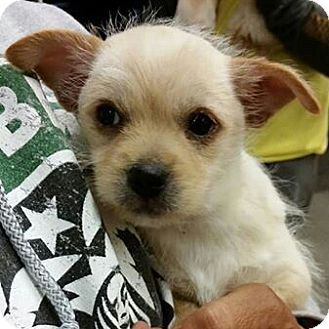 Terrier (Unknown Type, Small)/Poodle (Toy or Tea Cup) Mix Puppy for adoption in Phoenix, Arizona - Porsche