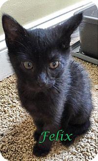 Domestic Mediumhair Kitten for adoption in Middletown, Ohio - Felix
